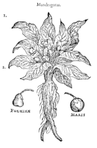 Mandrake - The Witch's Broom